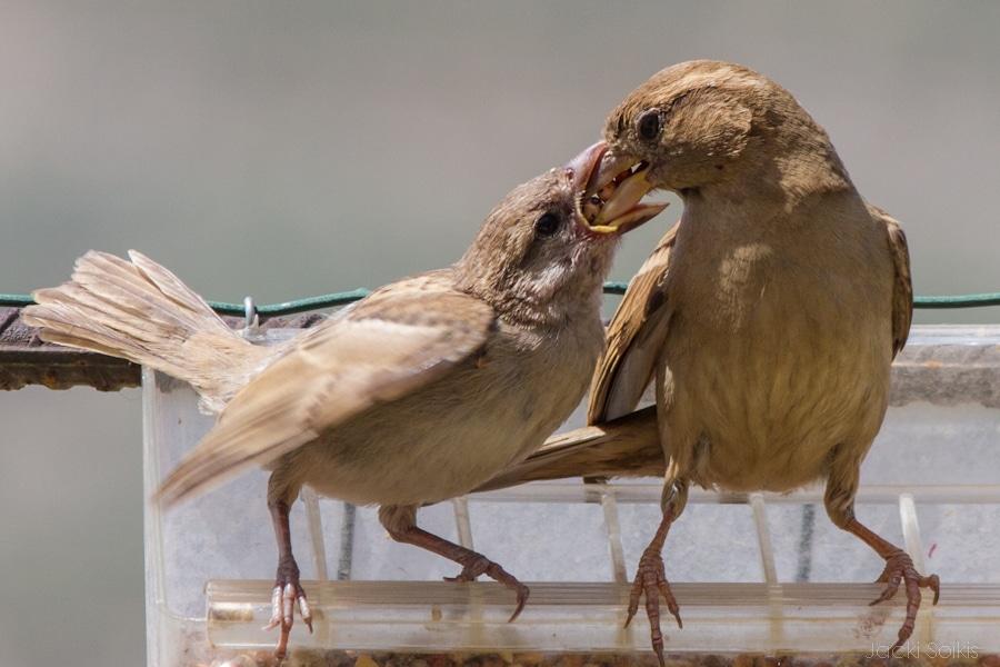 ציפור דרור מאכילה את גוזלה
