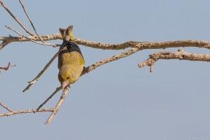 ירידה מהענף העליון לענף אמצעי לקראת הנחיתה