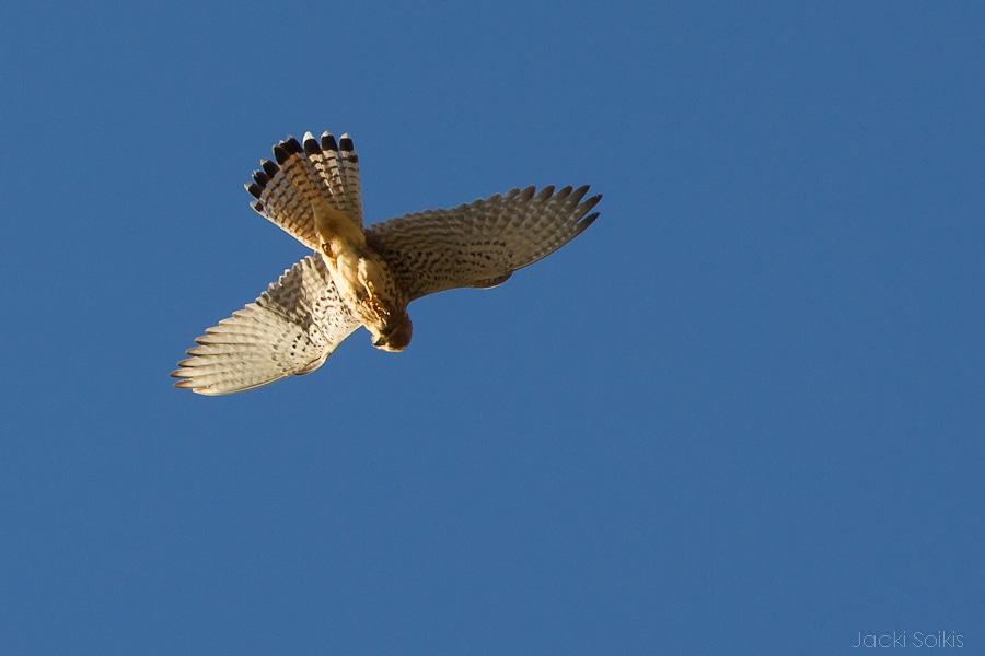 עוף דורס מעל הצימר בגליל