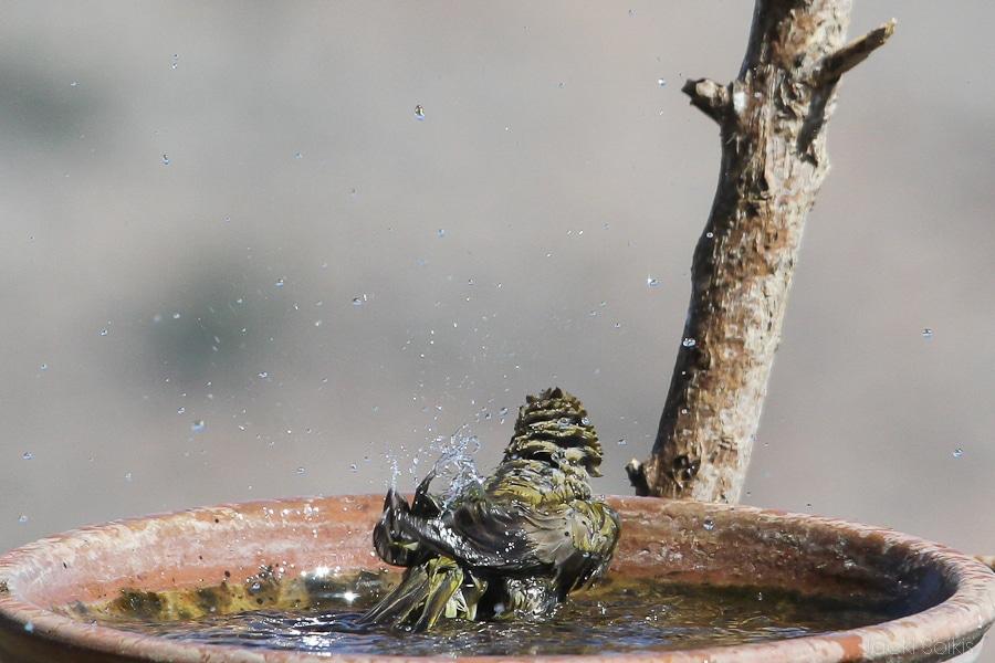ירקון רוחץ במים