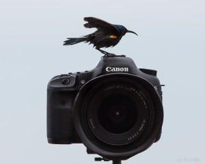 צופית זכר על המצלמה מציג את הנוצות הכתומות מתחת לכנפיים