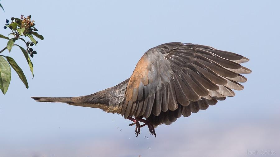 יונה פורסת כנפיים