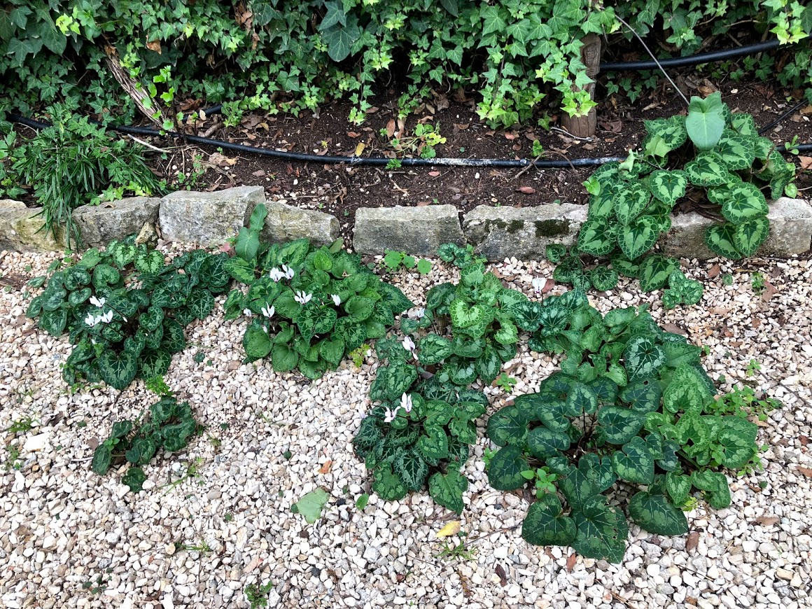 רקפות וסיגליות פורחות בחצר הדרומית בצימר