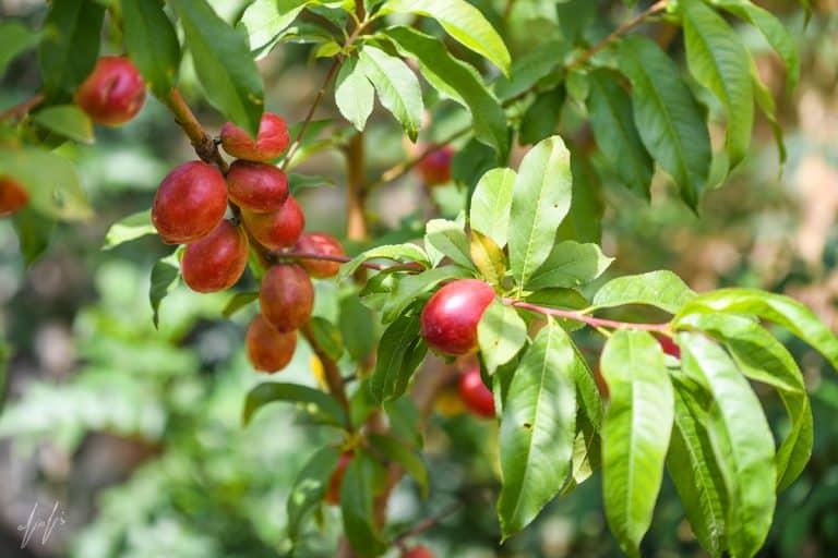 פרי הנקטרינה