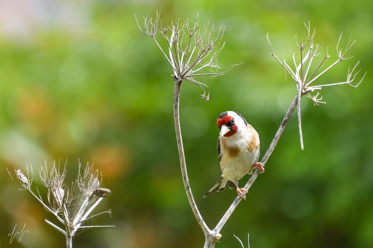 צילום ציפורים בחצר - חוחית
