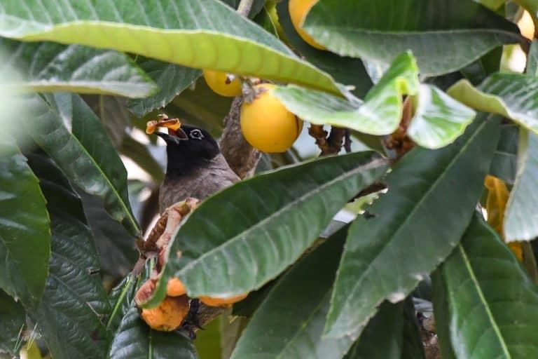 בולבול צולם במסגרת פרויקט צילום ציפורים בחצר