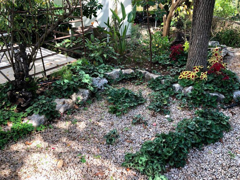 רקפות בחצר הצימר בגליל