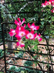 ורד מטפס