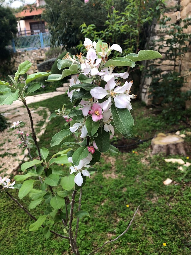 עץ תפוח פורח
