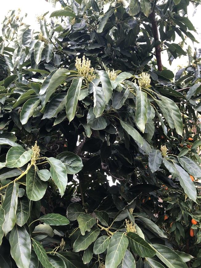 עץ האבוקדו