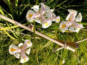 דיאטיס בפריחה בצימר
