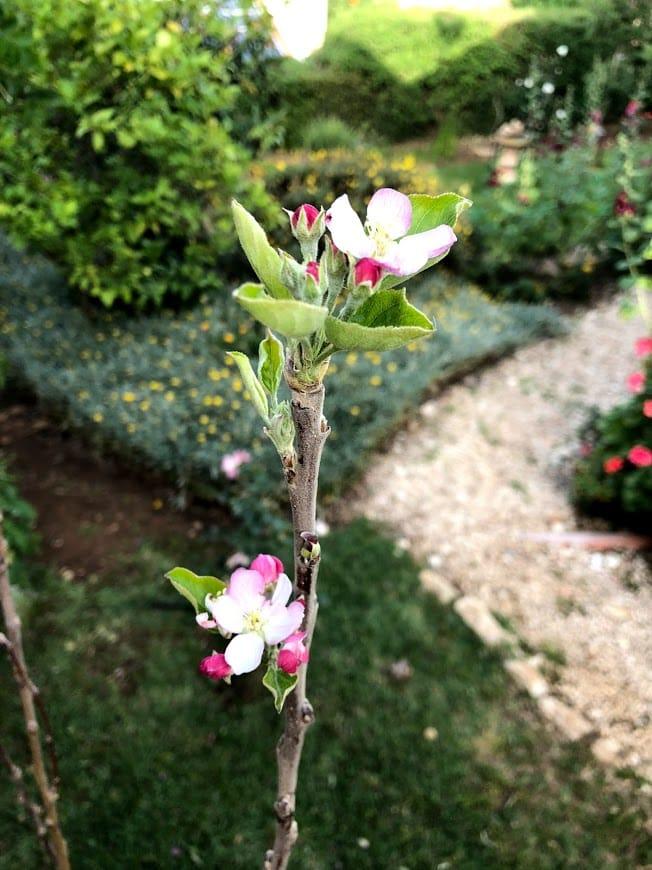 תפוח גרני סמית