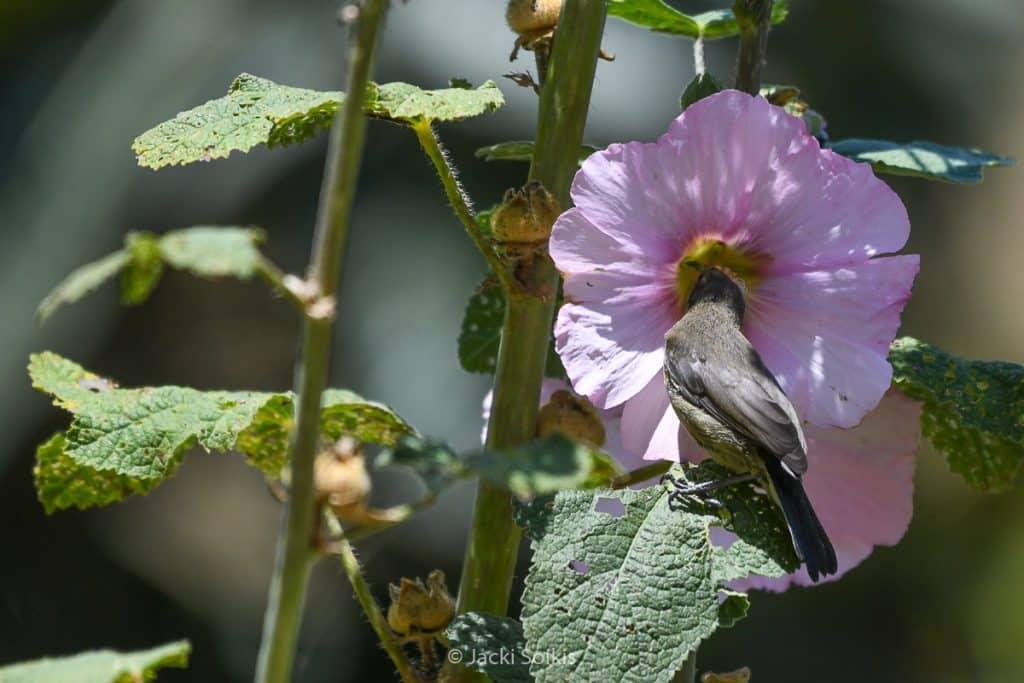 צופית שקועה בתוך פרח חטמית