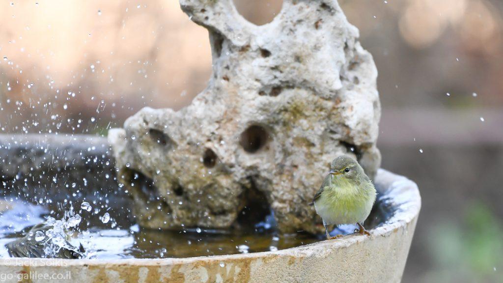 עלווית מתייבשת אחר הטבילה במים