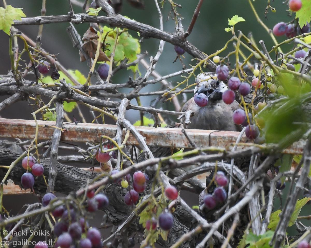 עורבני זולל ענבים