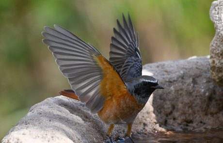 חכלילית עצים – זכר בפריסת כנפיים מרשימה